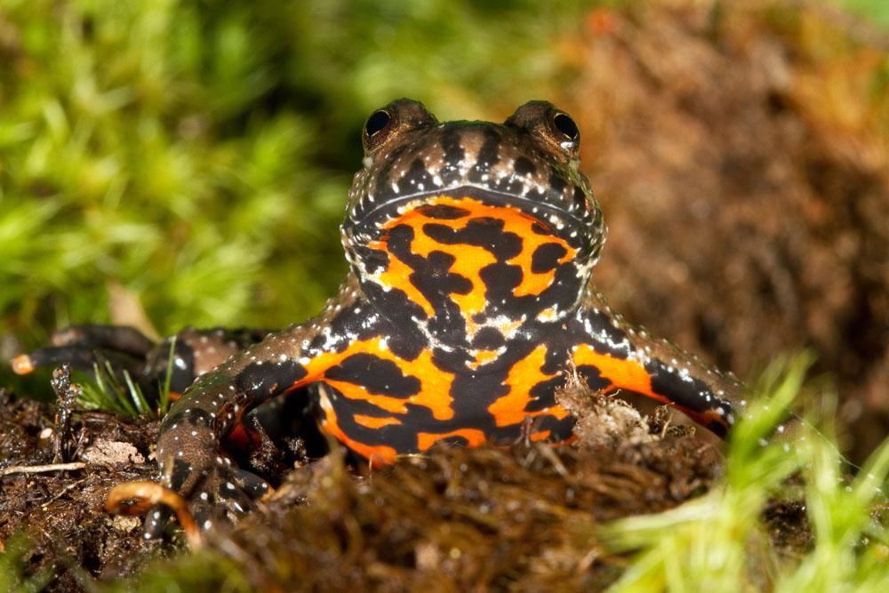 bombina_bombina_european_firebellied_toad_captive-0295_low_res.jpg